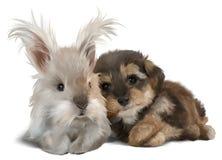 O yorkshire terrier e o coelho branco Fotografia de Stock Royalty Free