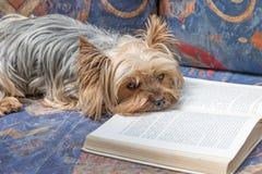 O yorkshire terrier está lendo um livro aberto Imagem de Stock