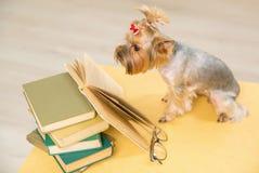 O yorkshire terrier está olhando no livro na tabela Imagem de Stock Royalty Free