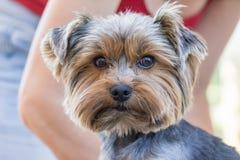 O yorkshire terrier está pronto para cortar Fotografia de Stock