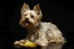 O yorkshire terrier joga com uma galinha do brinquedo no estúdio Fotos de Stock Royalty Free