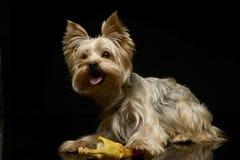 O yorkshire terrier joga com uma galinha do brinquedo no estúdio Fotografia de Stock Royalty Free