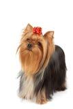O yorkshire terrier olha para cima imagem de stock