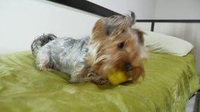 O yorkshire terrier triste morde um brinquedo de borracha que encontra-se na cama Bonito pet dentro a vista da câmera vídeos de arquivo