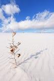 O Yucca secado no branco lixa o monumento nacional Imagem de Stock
