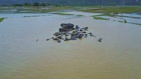 O zangão gerencie acima dos búfalos na água suja pela vila filme
