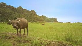 O zangão passa o búfalo novo e move-se para o campo de grama infinito filme