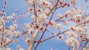 O zangão poliniza flores da cereja no jardim em abril video estoque