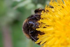 O zangão recolhe o pólen de uma flor do dente-de-leão Imagem de Stock