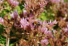 O zangão senta-se em uma flor Fotografia de Stock Royalty Free