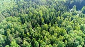 O zangão voa sobre a floresta do pinho filme