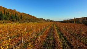 O zangão voa sobre os campos do outono das uvas video estoque