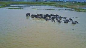 O zangão voa sobre o rebanho dos búfalos que banha-se na água pela estrada video estoque