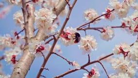 O zang?o poliniza flores da cereja no jardim em abril video estoque