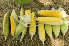 O Zea maio alinha Var Saccharata ou milho doce do milho agrícola Imagens de Stock