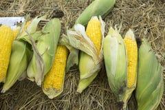 O Zea maio alinha Var Saccharata ou milho doce do milho agrícola Imagem de Stock