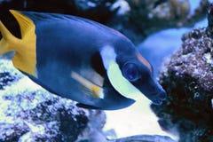 O Zebrasoma azul do Acanthuridae da família Peixes populares do aquário Zebrasoma pode ser produzido e aumentado comercialmente m fotos de stock