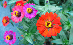 O zinnia Foto de Stock Royalty Free