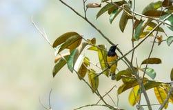 O zumbido disparou de um colibri ao descansar na haste da árvore que procura o alimento da flor imagem de stock