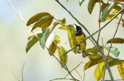 O zumbido disparou de um colibri ao descansar na haste da árvore que procura o alimento da flor imagens de stock