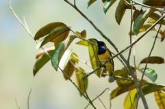 O zumbido disparou de um colibri ao descansar na haste da árvore que procura o alimento da flor imagem de stock royalty free