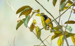 O zumbido disparou de um colibri ao descansar na haste da árvore que procura o alimento da flor fotografia de stock royalty free
