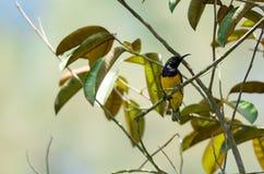 O zumbido disparou de um colibri ao descansar na haste da árvore que procura o alimento da flor fotografia de stock
