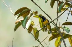 O zumbido disparou de um colibri ao descansar na haste da árvore que procura o alimento da flor foto de stock royalty free