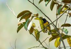 O zumbido disparou de um colibri ao descansar na haste da árvore que procura o alimento da flor fotos de stock royalty free