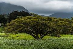 Oahu träd Arkivfoton