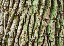 Oak. He trunk of an old oak, covered with moss Royalty Free Stock Photos