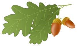 Oak. Vector illustration of oak leaves and acorns Royalty Free Stock Photos