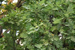 Oak. Leaves with the acorns Royalty Free Stock Images