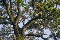 oak royaltyfria foton