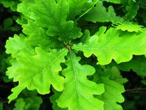 Oak Stock Photography
