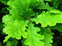 oak arkivbild