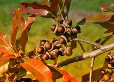 Oak. Golden oak acorns – laurel oak, Quercus hemispherica Royalty Free Stock Photos