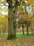 Oak. Autumn - big oak, trees, leafs royalty free stock images