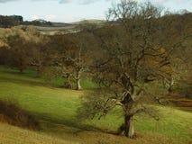 The Oak. One oak in the campaign of the Devonshire, United Kingdom stock photo