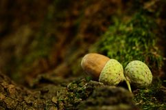 Oak acorn on mossy tree Royalty Free Stock Photo