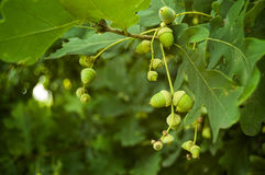 Oak acorns. Oak branch with young acorns and leaves Royalty Free Stock Images