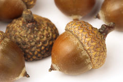 Oak acorns Stock Images