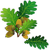 Oak acorns Stock Photo