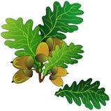 Oak acorns Stock Photo