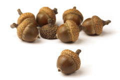 Oak acorns Stock Photography