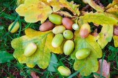 Oak acorns. Oak acorns on autumn leaves. Autumn, acorns fall to the ground and the grass. Yellow leaves. Ripe cozmuta acorns, nature, autumn, tree oak Stock Photos