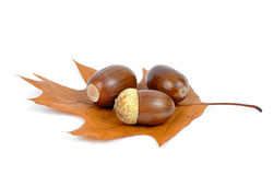Oak acorns Royalty Free Stock Images