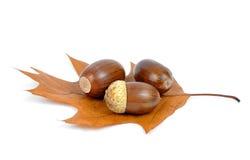 Oak acorns. On autumnal leaf isolated on white Royalty Free Stock Images