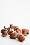 Oak acorns detail Stock Photography