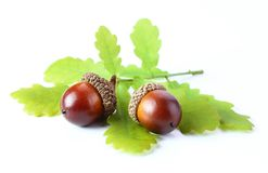 An oak acorns with leaf  white background Royalty Free Stock Photography